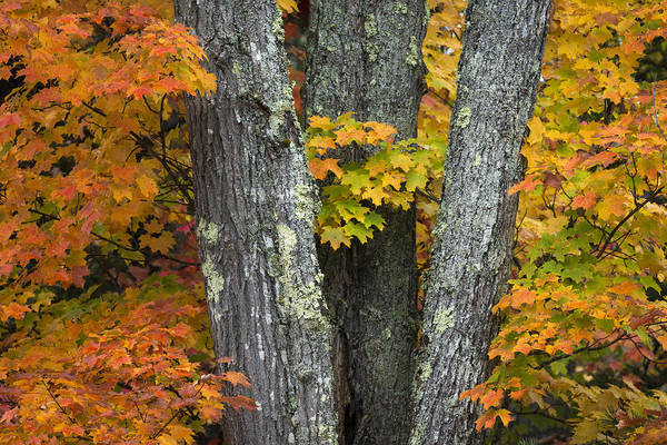 Acer Saccharum Photograph - Sugar Maple In Autumn by John Shaw