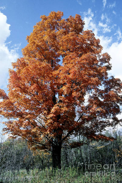 Acer Saccharum Photograph - Sugar Maple In Autumn by Scott Camazine