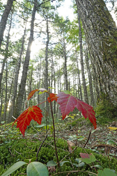 Acer Saccharum Photograph - Sugar Maple In Old-growth Canadian by Scott Leslie
