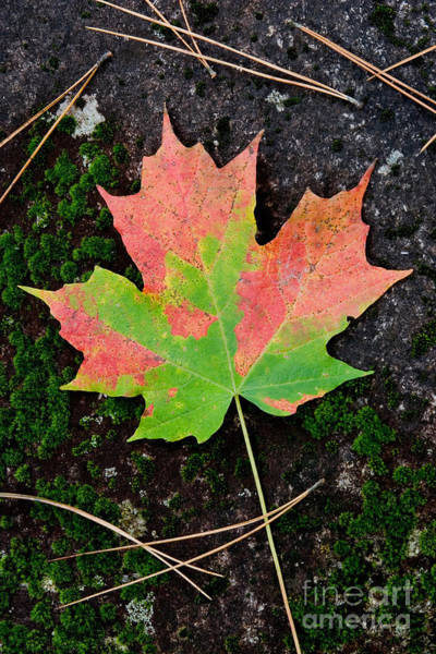 Acer Saccharum Photograph - Sugar Maple Leaf by Gregory G Dimijian MD