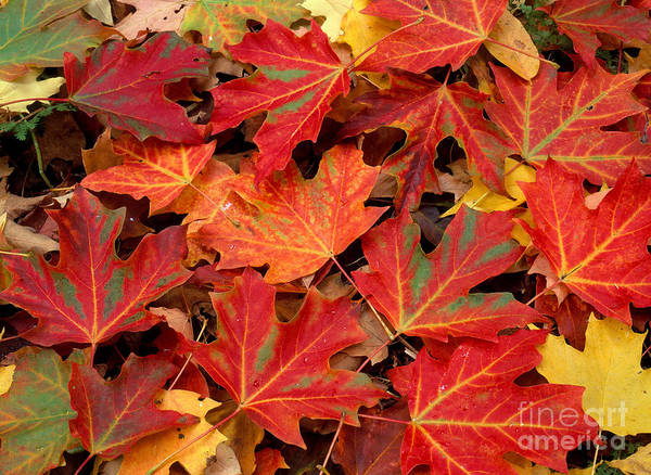Acer Saccharum Photograph - Sugar Maple Leaves by Michael P Gadomski