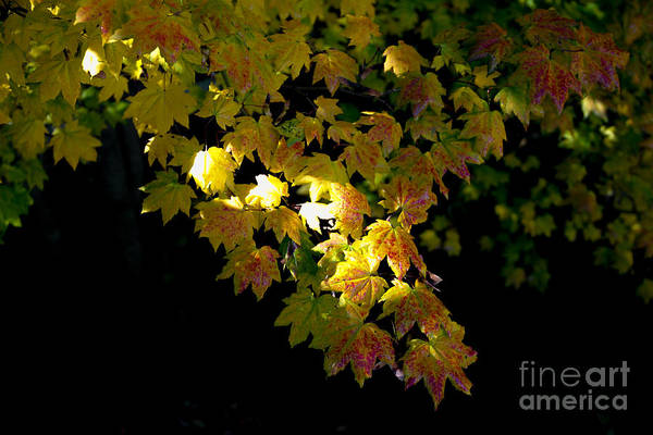 Plumas County Photograph - Sugar Maple, Quincy California by Tirza Roring