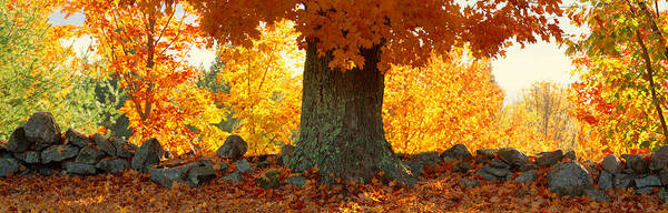 Autumn In New England Photograph - Sugar Maple Tree In Autumn, Peacham by Panoramic Images