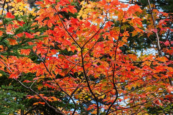 Acer Saccharum Photograph - Sugar Maple Turning Orange by Karen Stephenson