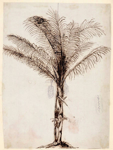 Southeast Asia Wall Art - Photograph - Sugar Palm by Natural History Museum, London