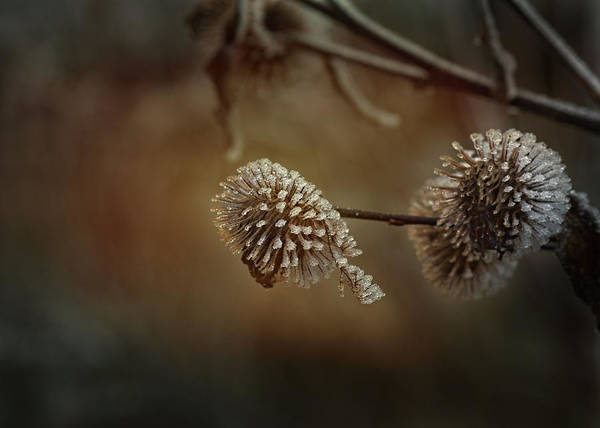 Thistle Photograph - Sugarfrosted Thistle by Susan Capuano