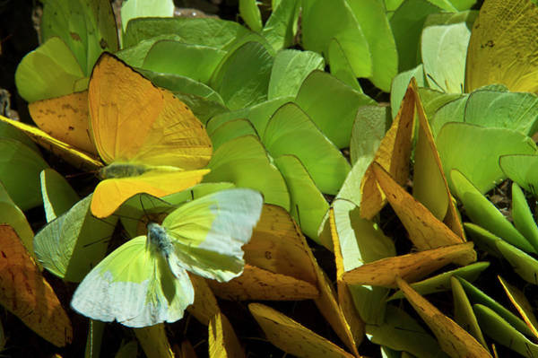 Sulfur Butterfly Wall Art - Photograph - Sulfur Butterflies On Mineral Lick by Pete Oxford