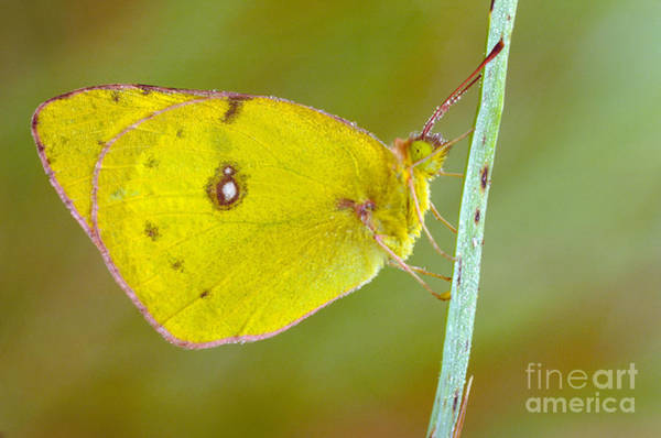 Sulfur Butterfly Wall Art - Photograph - Sulfur Butterfly by Larry West