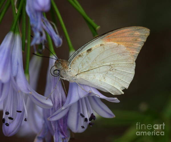 Sulfur Butterfly Wall Art - Photograph - Sulfur On The Edge by Ruth Jolly