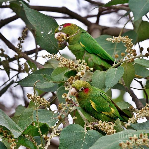 Photograph - Sulfur-winged Parakeets by Heiko Koehrer-Wagner