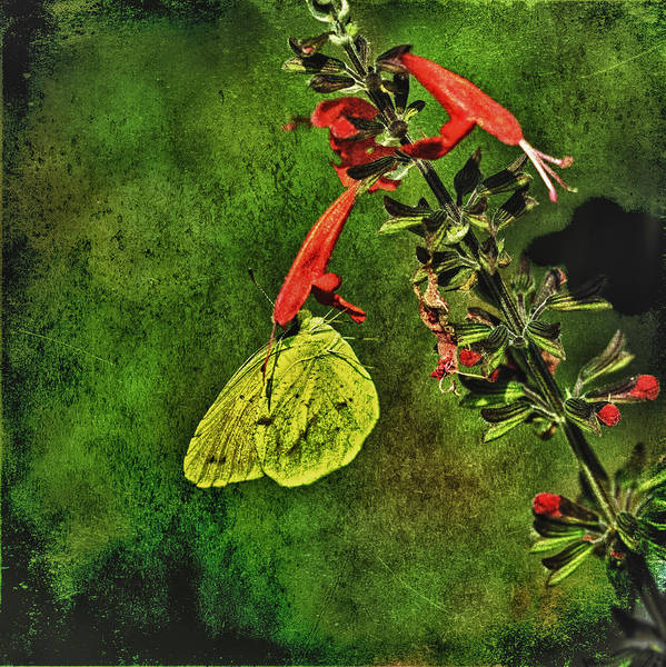 Photograph - Sulphur Butterfly by Donald Brown