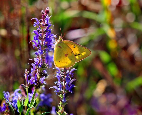 Photograph - Sulphur Butterfly On Purple Salvia Flower by Karen Adams
