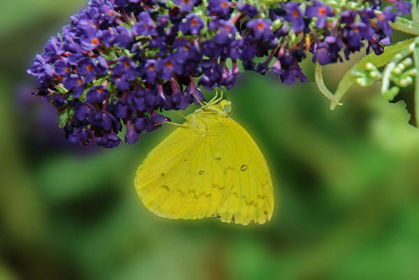 Photograph - Sulphur Butterfly by Tam Ryan