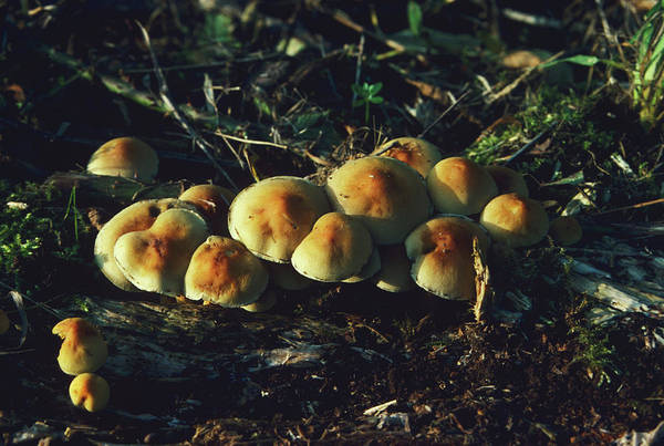 Wall Art - Photograph - Sulphur Tuft Mushrooms by Ann Pickford/science Photo Library