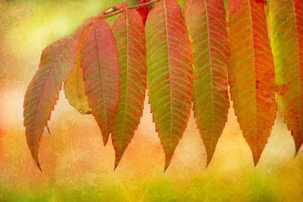 Photograph - Sumac Leaves In Fall by Peggy Collins