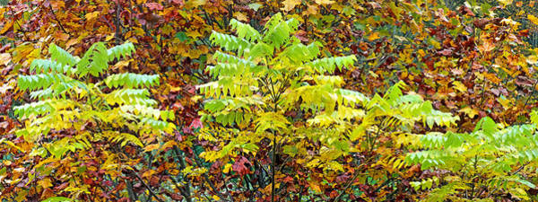 Photograph - Sumac Leaves In The Fall by Duane McCullough