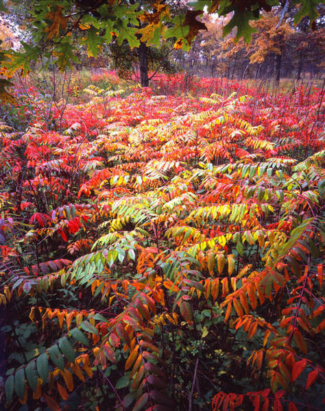 Photograph - Sumac Surprise by Ray Mathis