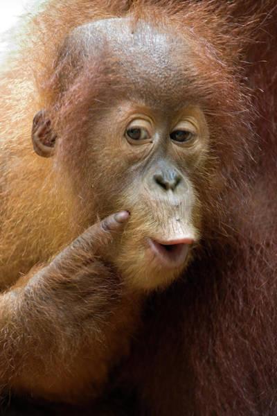 Photograph - Sumatran Orangutan Baby Calling by Suzi Eszterhas