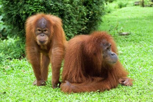 Orangutan Photograph - Sumatran Orangutans by Tony Camacho/science Photo Library