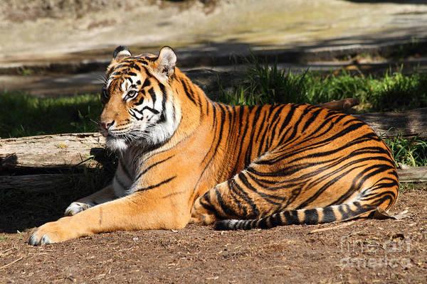 Photograph - Sumatran Tiger 7d27310 by Wingsdomain Art and Photography