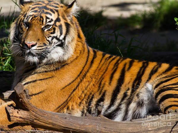 Photograph - Sumatran Tiger 7d9105 by Wingsdomain Art and Photography