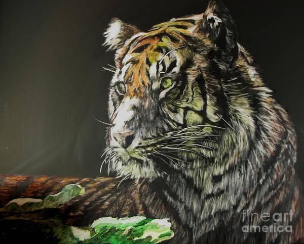 Sumatran Drawing - Sumatran Tiger by Bev Morgan