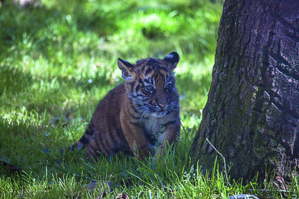 Wall Art - Photograph - Sumatran Tiger Cub by Garry Gay