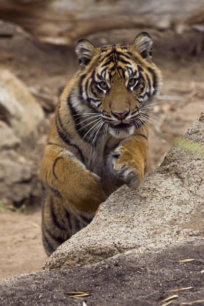 Photograph - Sumatran Tiger Cub Jumping Onto Rock by San Diego Zoo