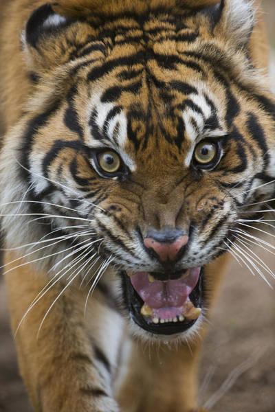 Defensive Photograph - Sumatran Tiger Male Snarling Native by San Diego Zoo