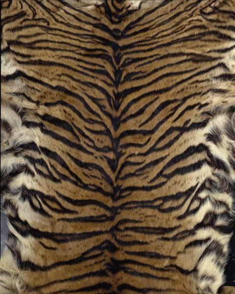 Photograph - Sumatran Tiger Skin by Science Photo Library
