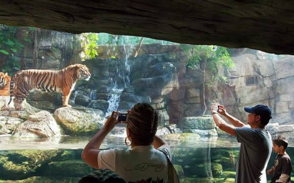 Big Boy Photograph - Sumatran Tigers In A Zoo by Jim West