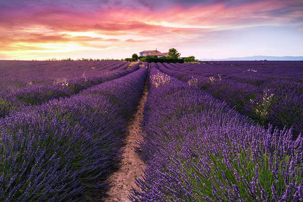 Lavender Wall Art - Photograph - Summer At Valensole by Richard Susanto