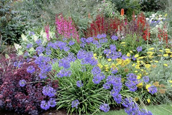 Agapanthus Photograph - Summer Border by Mike Comb/science Photo Library