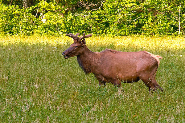 Photograph - Summer Bull Elk by Mary Almond