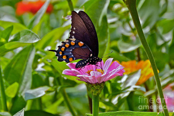 Photograph - Summer Color Splash -- Butterfly And Blossoms by Byron Varvarigos