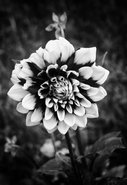 Photograph - Summer Dahlia by Ben Shields