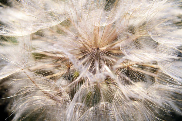 Photograph - Summer Dandelion  by Steve Somerville