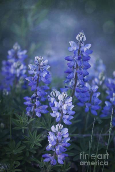 Lupines Photograph - Summer Dream by Priska Wettstein