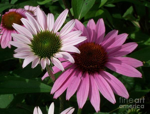 Photograph - Summer Echinaceas by Sue Andrus