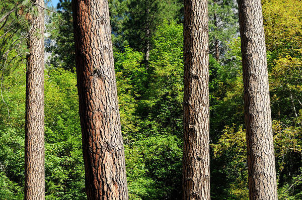Pine Tree Photograph - Summer Forest by Art Wager