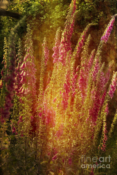 Photograph - Summer Foxgloves by Brian Roscorla