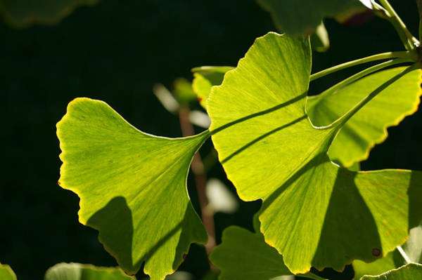 Photograph - Summer Ginkgo Leaves by MM Anderson