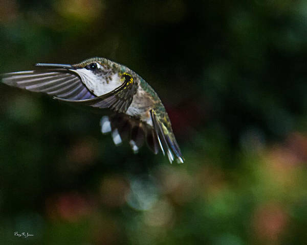 Photograph - Hummingbird - In Flight - Summer Hummer by Barry Jones