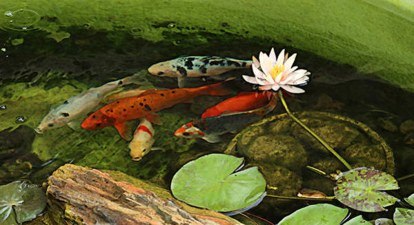 Photograph - Summer Koi And Lilly by Amanda Smith