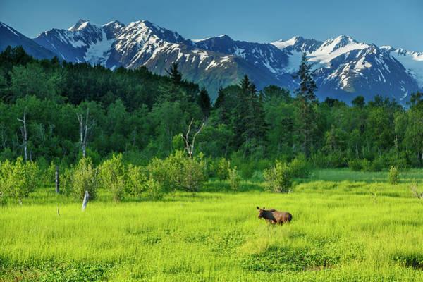Summer Landscape Of Cow Moose Art Print