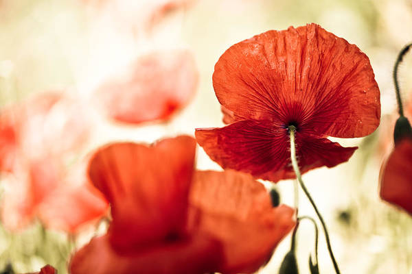 Corn Photograph - Summer Poppy by Nailia Schwarz