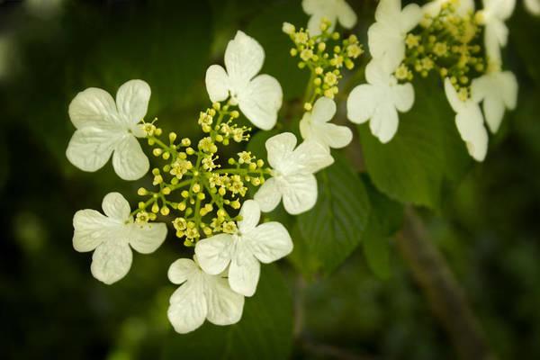 Photograph - Summer Snowflakes Viburnum  by Ben Shields
