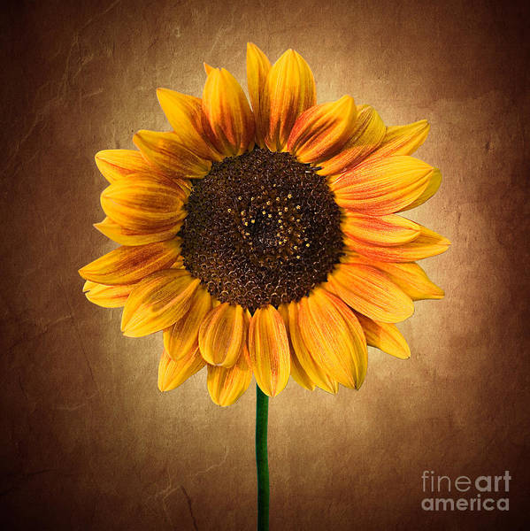 Photograph - Summer Sunflower by Cindy Singleton