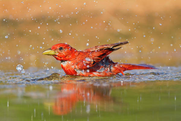 Birds Of Texas Photograph - Summer Tanager Piranga Rubra Male by Danita Delimont