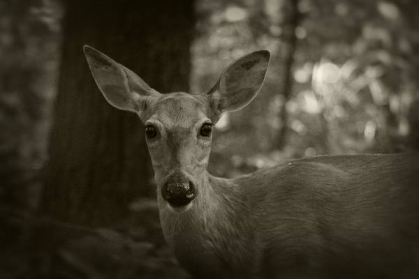 Photograph - Summer Whitetail 3 by Scott Hovind